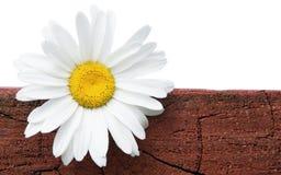Kamille op een logboek. Royalty-vrije Stock Fotografie