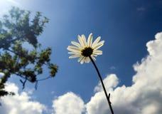 Kamille op hemelachtergrond Stock Foto's