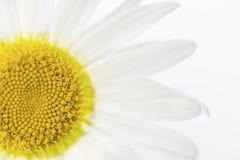 Kamille op wit Stock Fotografie