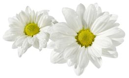Kamille op wit geïsoleerde achtergrond Stock Foto's