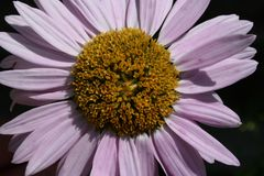 Kamille roze nadruk Een installatie, een bloem Royalty-vrije Stock Afbeelding