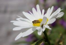 Kamille und eine Biene Lizenzfreies Stockfoto