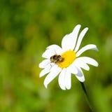 Kamille und Insekt Stockbilder