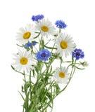 Kamille und Kornblumen lokalisiert ohne Schatten lizenzfreie stockfotos