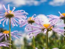 Kamille unter makro natürlichem Hintergrund des blauen Himmels Stockfotografie