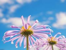 Kamille unter makro natürlichem Hintergrund des blauen Himmels Lizenzfreie Stockfotografie