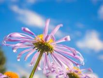 Kamille unter makro natürlichem Hintergrund des blauen Himmels Lizenzfreies Stockbild