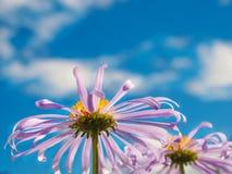 Kamille unter makro natürlichem Hintergrund des blauen Himmels Stockbild