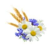 Kamille van de tarwe de blauwe die korenbloem op witte achtergrond wordt geïsoleerd Royalty-vrije Stock Foto