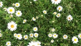 Kamille wächst vor dem hintergrund des grünen Grases Weißer Wildflower, der in den Wind sich bewegt stock video