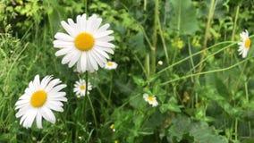 Kamille wächst vor dem hintergrund des grünen Grases Wei?e Wildflowers stock video