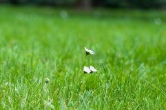 Kamille witte kleine wilde bloemen op een achtergrond van groen gras stock afbeeldingen