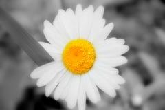 Kamille in zwart-wit met een heldere gele kern Royalty-vrije Stock Afbeeldingen