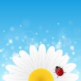Kamillebloem en onzelieveheersbeestje op blauwe achtergrond Royalty-vrije Stock Foto
