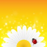 Kamillebloem en onzelieveheersbeestje op gele achtergrond Stock Foto
