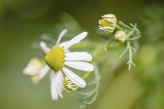 Kamillebloemen Stock Fotografie