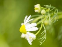Kamillebloemen Stock Foto's
