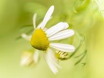 Kamillebloemen Royalty-vrije Stock Foto's