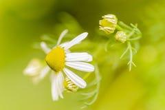 Kamillebloemen Stock Foto