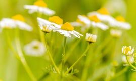 Kamillebloemen Stock Afbeeldingen