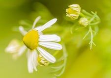 Kamillebloemen Stock Afbeelding