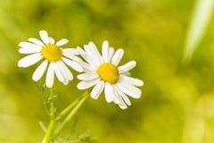 Kamillebloemen Royalty-vrije Stock Afbeelding