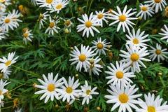 Kamillebloemen - bloemenachtergrond royalty-vrije stock afbeeldingen