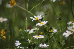 Kamillebloemen De natuurlijke achtergrond met kan kever het vliegen stock fotografie