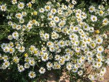 Kamillebloemen en gras Stock Foto's