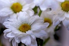 Kamillebloemen in het close-up van waterdalingen Stock Foto