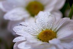 Kamillebloemen in het close-up van waterdalingen Royalty-vrije Stock Afbeelding