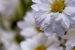 Kamillebloemen in het close-up van waterdalingen Stock Foto's