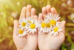Kamillebloemen in kinderen` s handen stock afbeelding