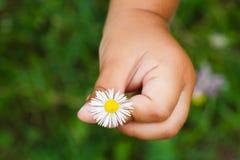 Kamillebloemen in kindhand Royalty-vrije Stock Fotografie