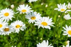 Kamillebloemen op een zonnige de zomerdag Bloeiende madeliefjes Stock Fotografie