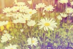 Kamillebloemen op een zonnige de zomerdag Bloeiende madeliefjes gestemd Royalty-vrije Stock Foto