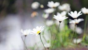 Kamillebloemen op het de zomergebied stock video