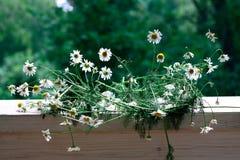 Kamillebloemen op natuurlijke achtergrond royalty-vrije stock foto's