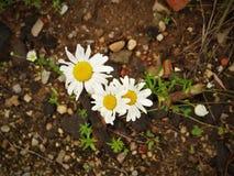 Kamillebloemen op rotsachtige grond royalty-vrije stock fotografie