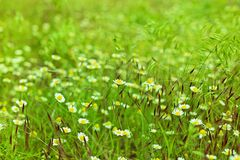 Kamillebloemen op weide Stock Foto's