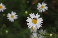 Kamillegebied van bloemen stock afbeeldingen