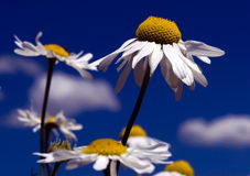 Kamillen-Blumen Lizenzfreie Stockfotografie