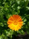 Kamillen-Blumen-Leuchtorange-Natur Lizenzfreies Stockfoto