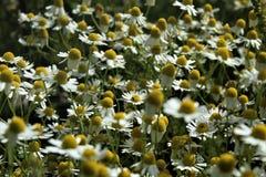 Kamillen-Blumen und Gräser blühen schön lizenzfreie stockfotos