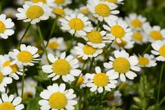 Kamillen- oder Kamillenblumen Stockfotografie
