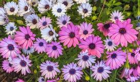 Kamillen-Perser im Park Lizenzfreie Stockfotografie