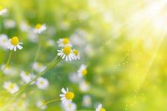 Kamillen-wilder Gänseblümchen-Frühlingsblumenfeldhintergrund in der Sonne Lizenzfreie Stockbilder