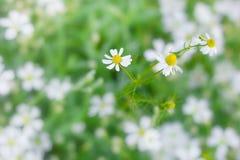 Kamillen-wilder Gänseblümchen-Frühlingsblumenfeldhintergrund nave Stockbild