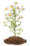 Kamillenanlage (Matricaria Chamomilla) Lizenzfreies Stockbild