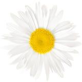Kamillenblume lokalisiert auf weißem Hintergrund mit Beschneidungspfad Stockfotografie